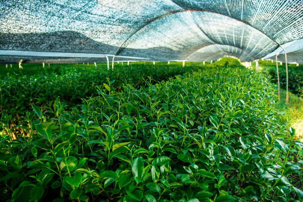 Выращивание чая матча